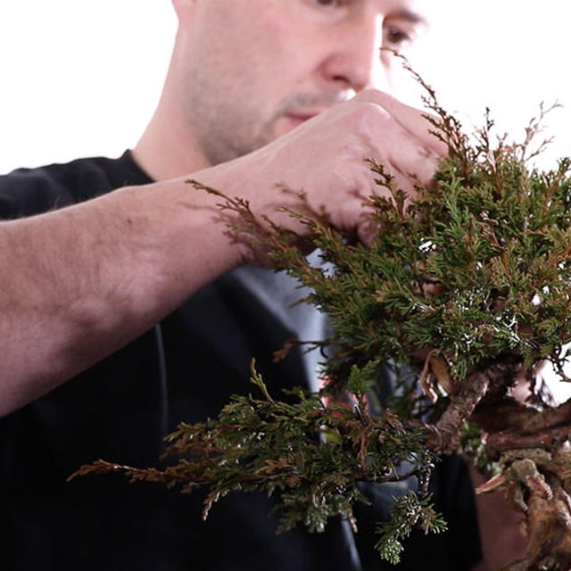 Itoigawa Juniper from Nursery Stock to Bonsai