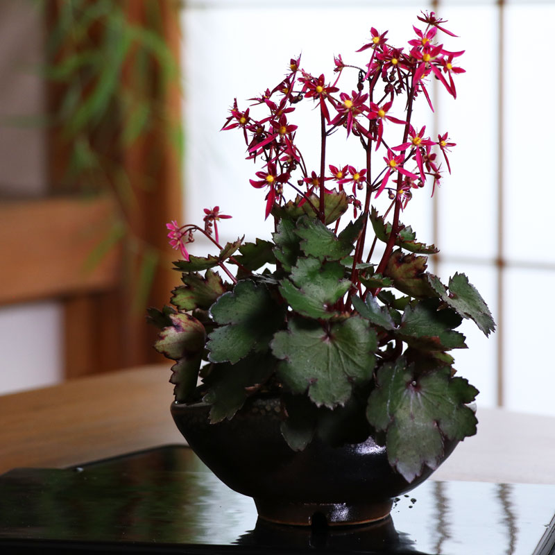 Bonsai Arrangement with Saxifraga Fortunei