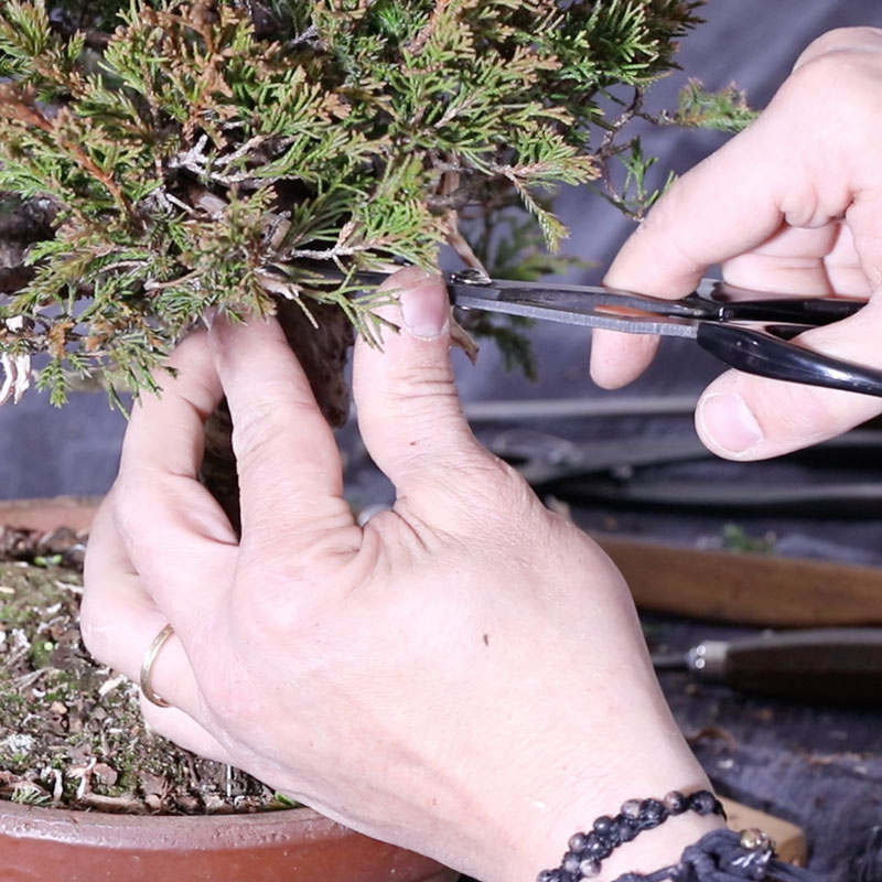 Itoigawa Juniper from Nursery Stock to Bonsai Part 1 : Cleaning and Working on Deadwood