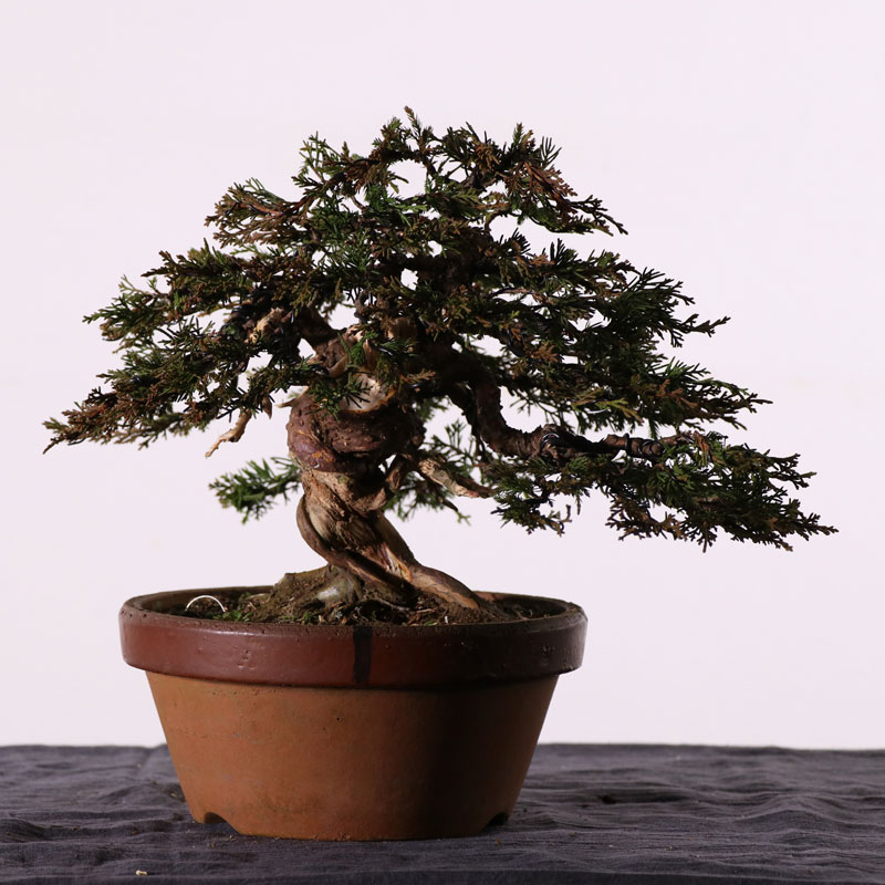 Itoigawa Juniper from Nursery Stock to Bonsai Part 2 : Wiring and Styling
