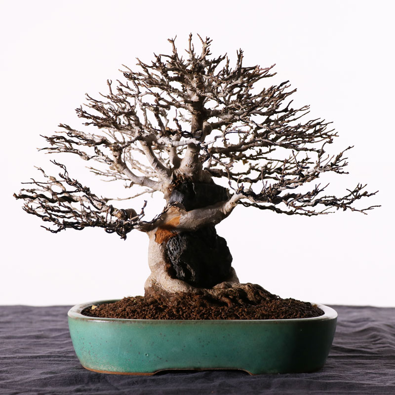 "Trident Maple ""Kaede"" the Beauty of a Tree Over Rock Part 2: Repotting"