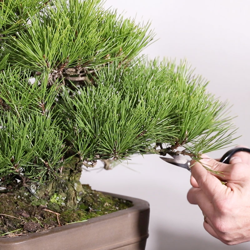 Transformation on Japanese Black Pine Part 1: Maintenance and Pruning