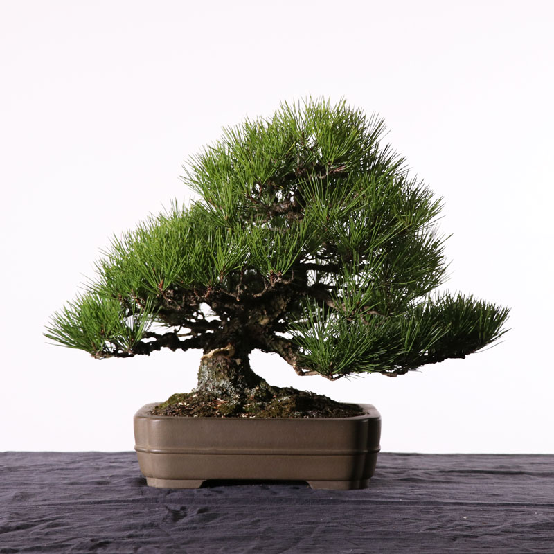 Transformation on Japanese Black Pine Part 2: Restyling and Making a Jin