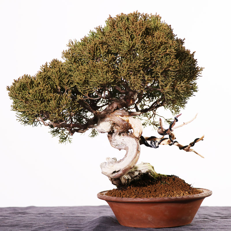 Kishu Juniper Bonsai 2: Repotting to Seto Pot
